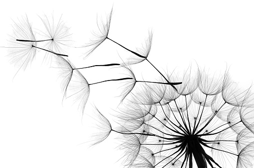 Close up of a dandelion as the wind blows in black and white