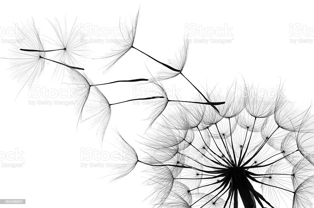 Close up of a dandelion as the wind blows in black and white stock photo