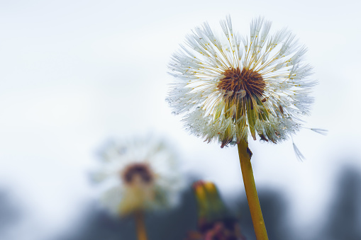 Close up of a dandelion blossom in autumn