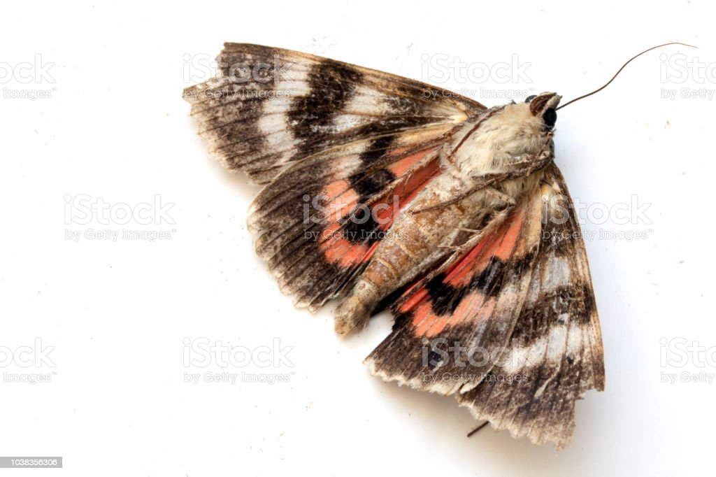 Close Up of a Dead Brown and Red Moth on White Background stock photo