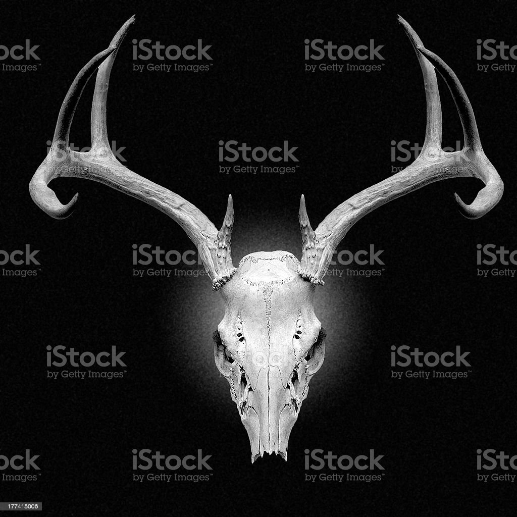 Close up of a deer skull on a black background stock photo