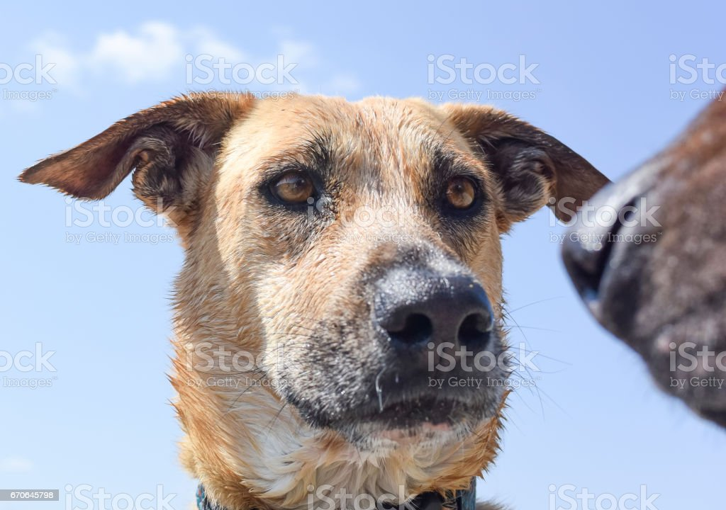 Close up of a dog about to have a nose to nose meeting stock photo