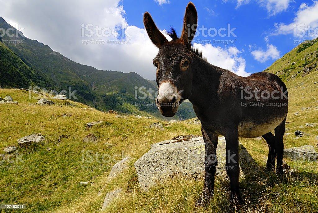 Esel in die Berge – Foto