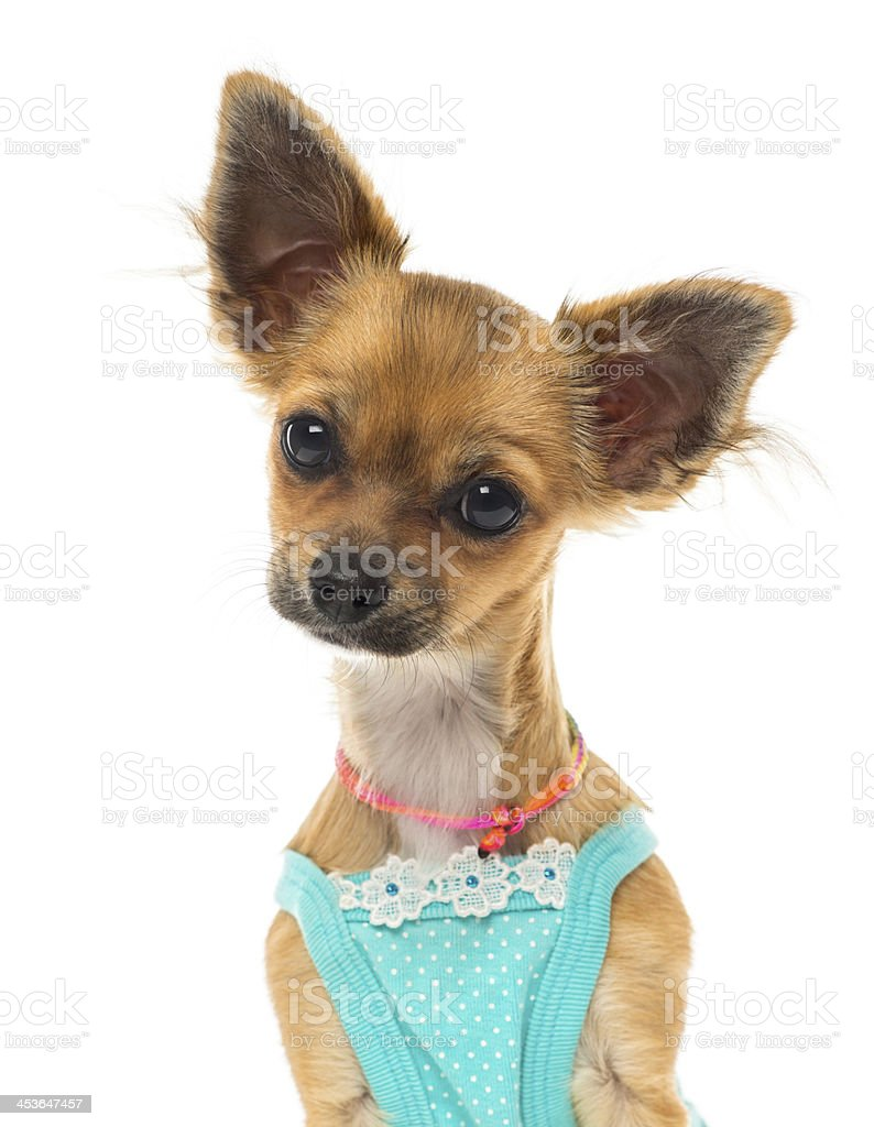 Close up of a dressed Chihuahua, isolated on white royalty-free stock photo