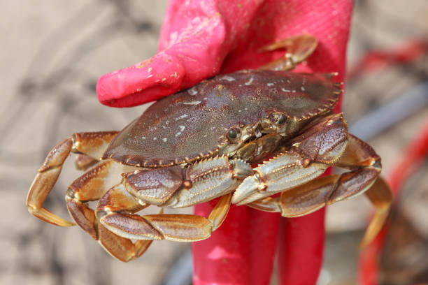 Close up of a dungeness crab. stock photo