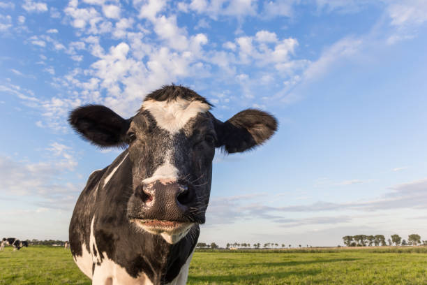close up of a dutch black and white cow in holland - cow stock photos and pictures