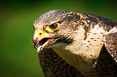 close up of a falcon eating meat.