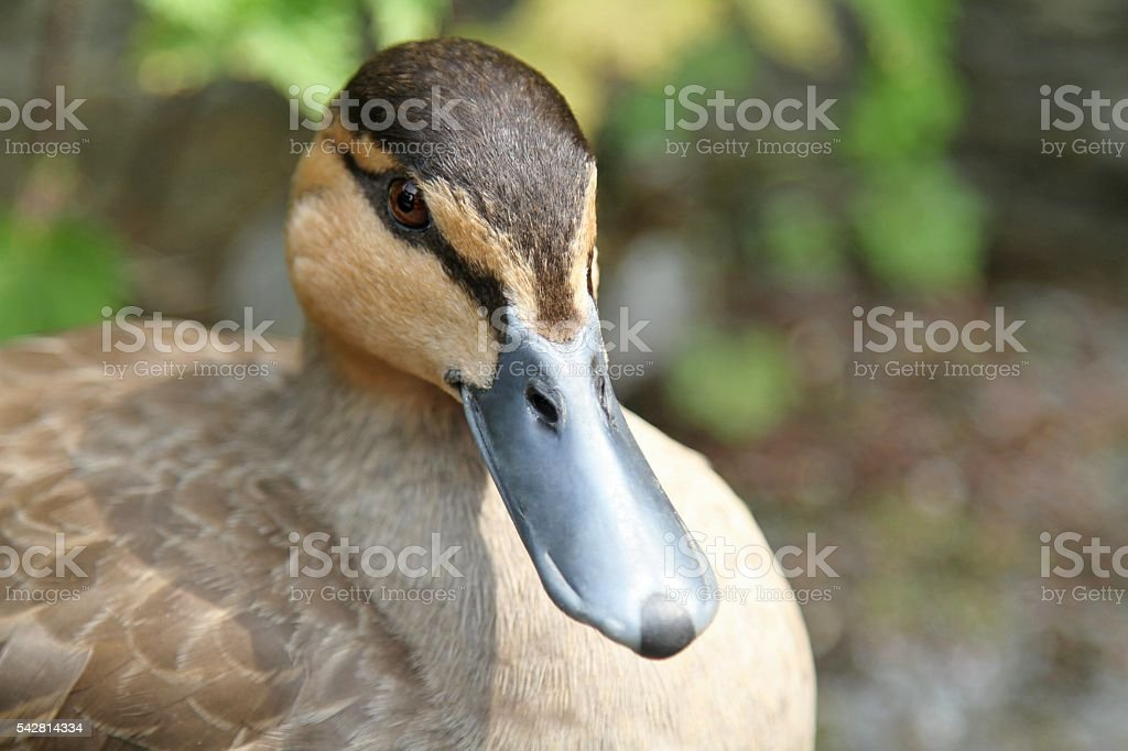 close up of a  female Mallard duck stock photo