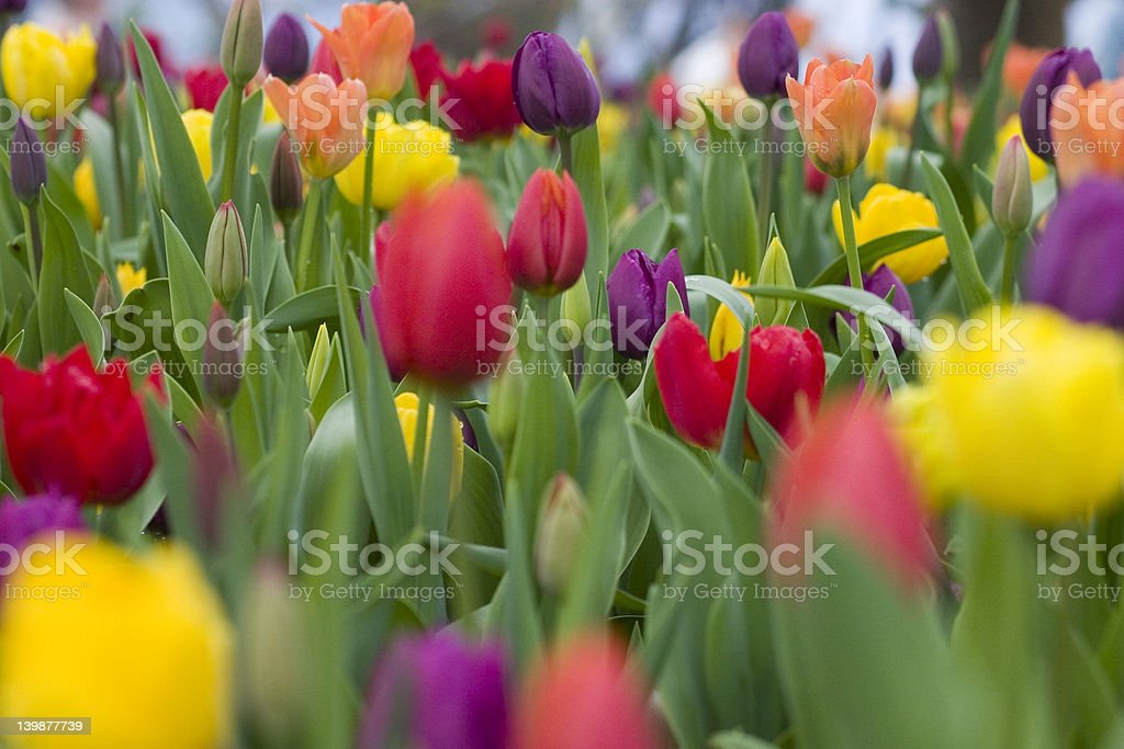 A close up of a field of colorful tulips  royalty-free stock photo