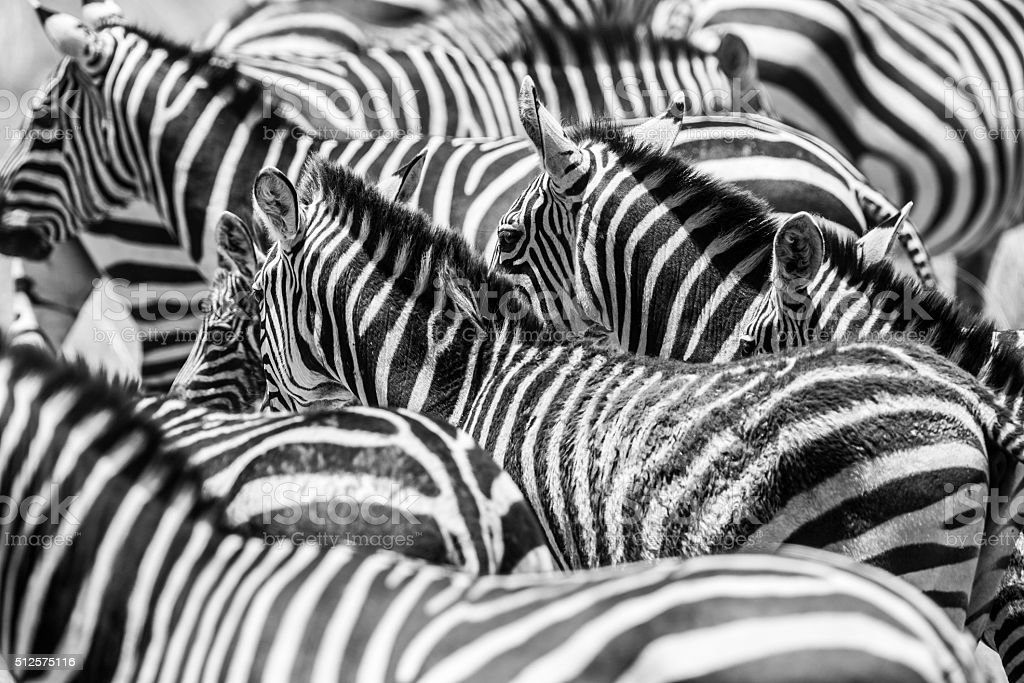 Close up of a flock with black and white zebras stock photo