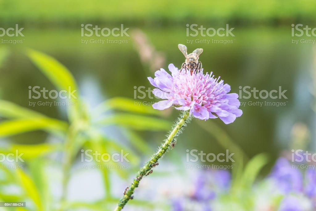 Close up of a flower in a garden with a bee ants and vine louse on the flower stock photo