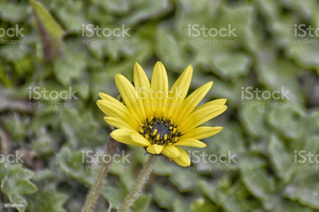 A close up of a flower of Capeweed (Arctotheca calendula) stock photo