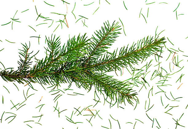 Close up of a fresh Christmas tree losing needles stock photo