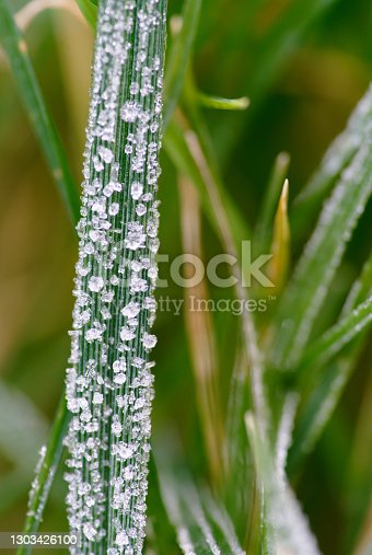 blade of grass, grass, frost
