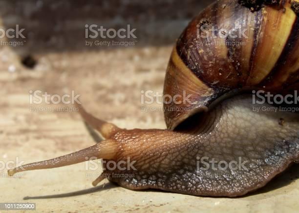 産卵 カタツムリ