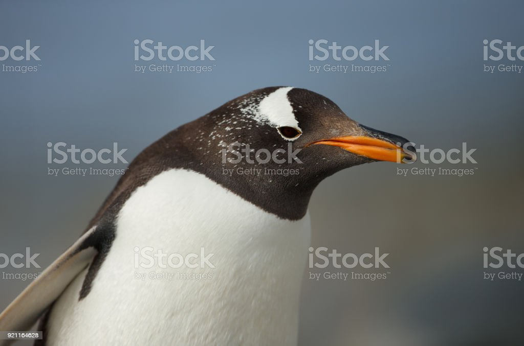Close up of a Gentoo penguin against blue background stock photo