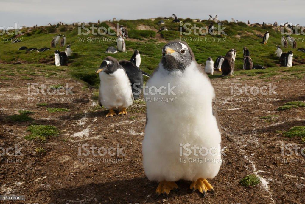 Close up of a Gentoo penguin chick, Falkland islands stock photo
