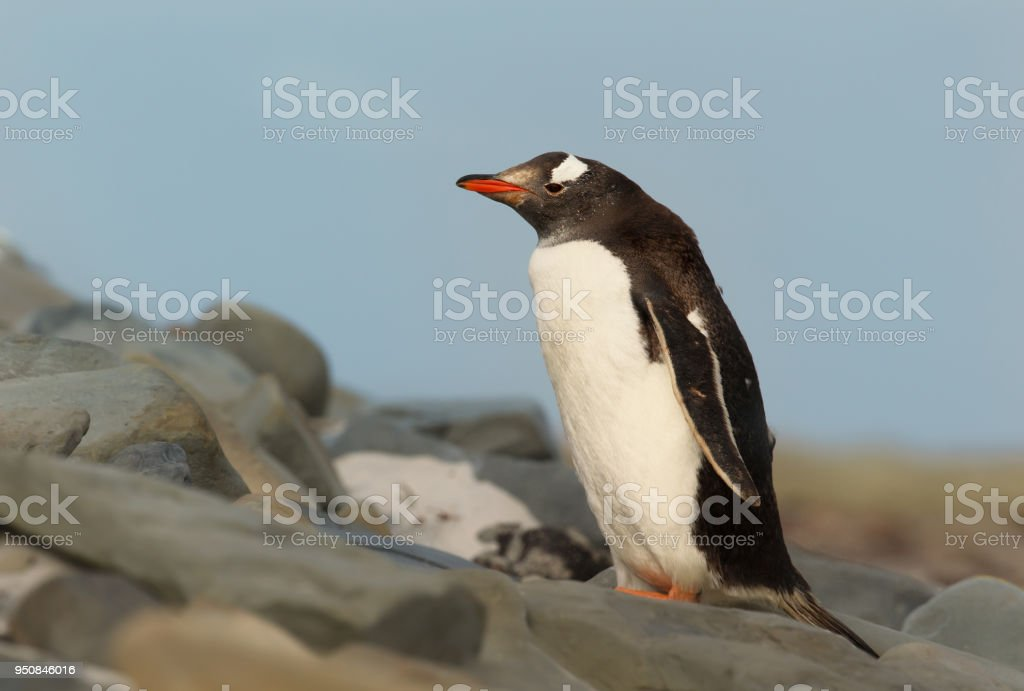 Close up of a Gentoo penguin standing on rocks against blue sky stock photo