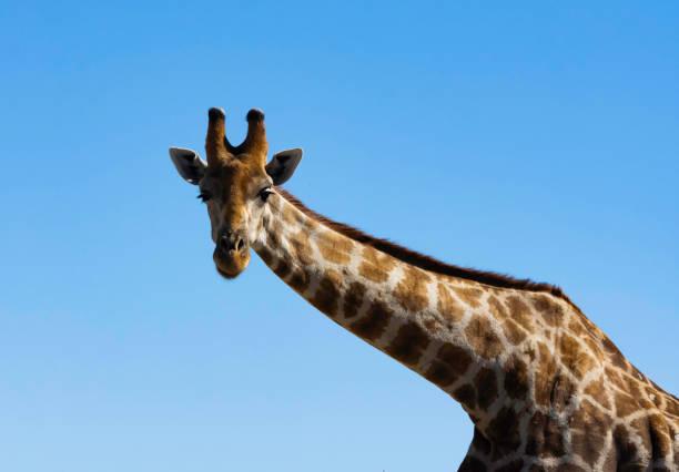 Close up of a giraffe stock photo