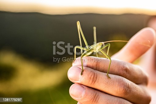 istock Close up of a grasshopper in man's hand. 1281775297