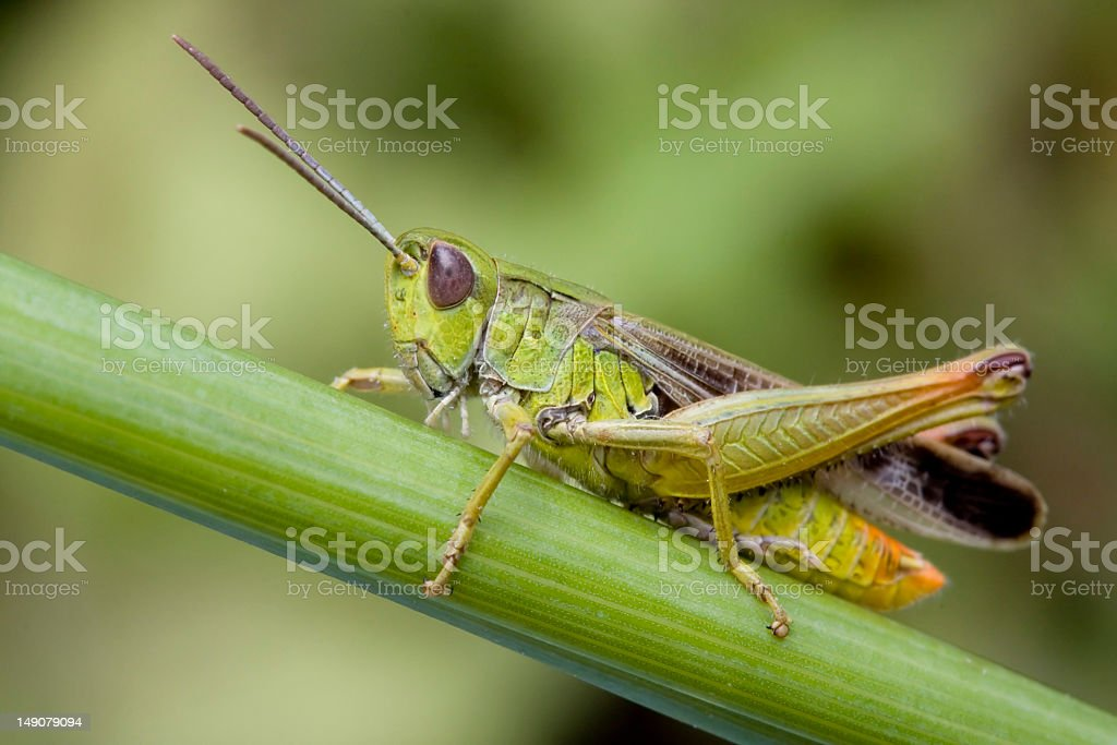 Close up of a grasshopper on a plant royalty-free stock photo