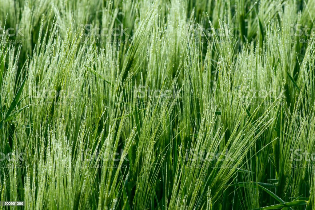 Close up of a green barley with dew drops stock photo