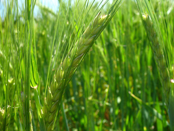 Close up of a green fresh wheat ear stock photo