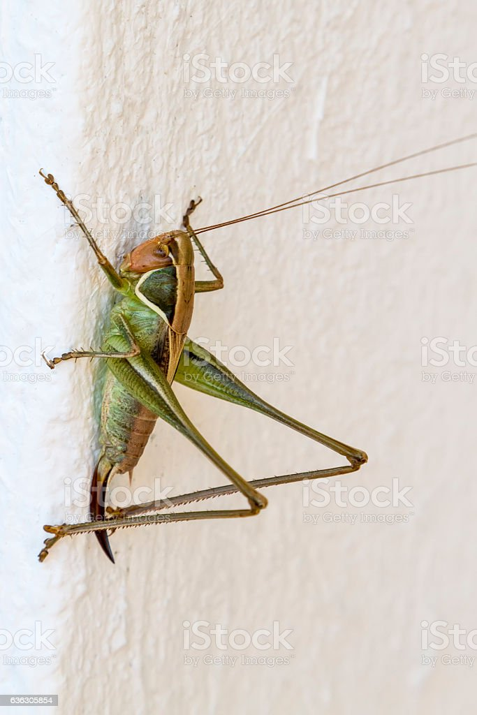 Close up of a green Hopper on white wall. stock photo