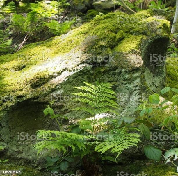 Photo of close up of a green moss and lichen covered rock surrounded by ferns and plants in bright spring sunlight on a forest floor