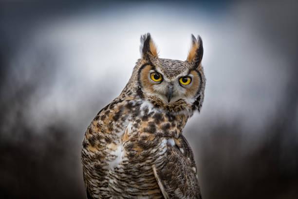 Close up of a grey horned owl picture id906360272?b=1&k=6&m=906360272&s=612x612&w=0&h=u233t z3495 wwplz5cxdse25mjuj049lnzbituv rm=