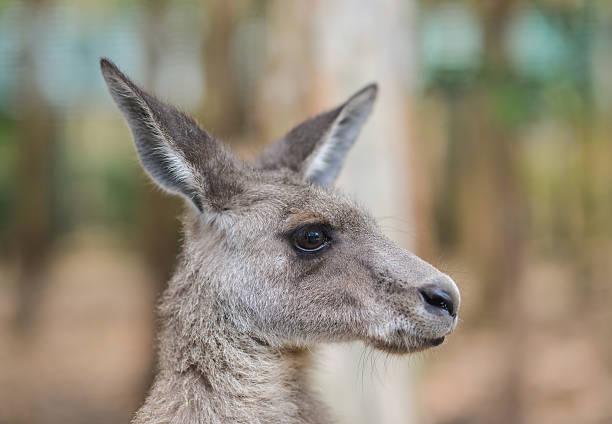 Close up of a grey kangaroo stock photo