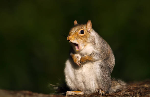 Close up of a grey squirrel yawning Close up of a grey squirrel yawning, UK. amusing stock pictures, royalty-free photos & images
