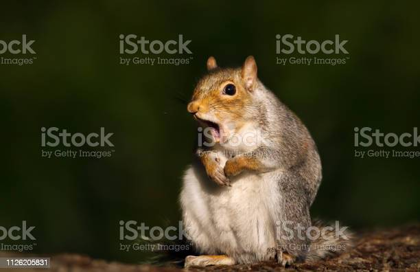 Photo of Close up of a grey squirrel yawning