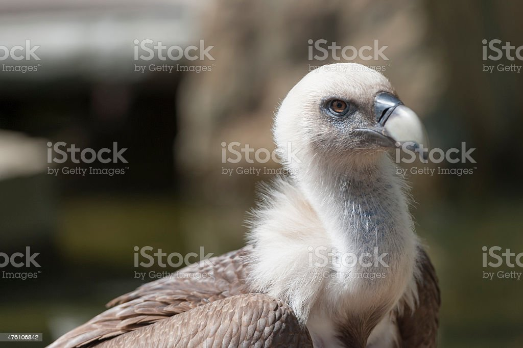 close up of a griffon vulture stock photo