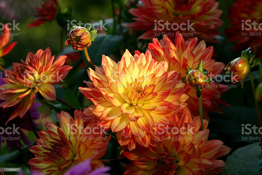 Close up of a group of dahlias in bloom stock photo