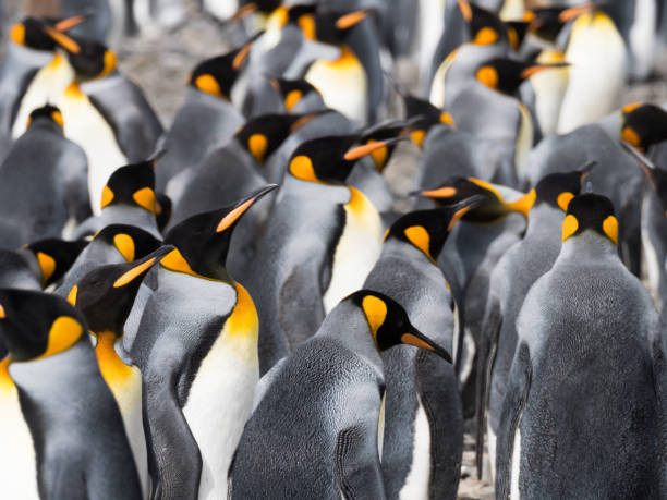 Close Up of a Group of King Penguins stock photo
