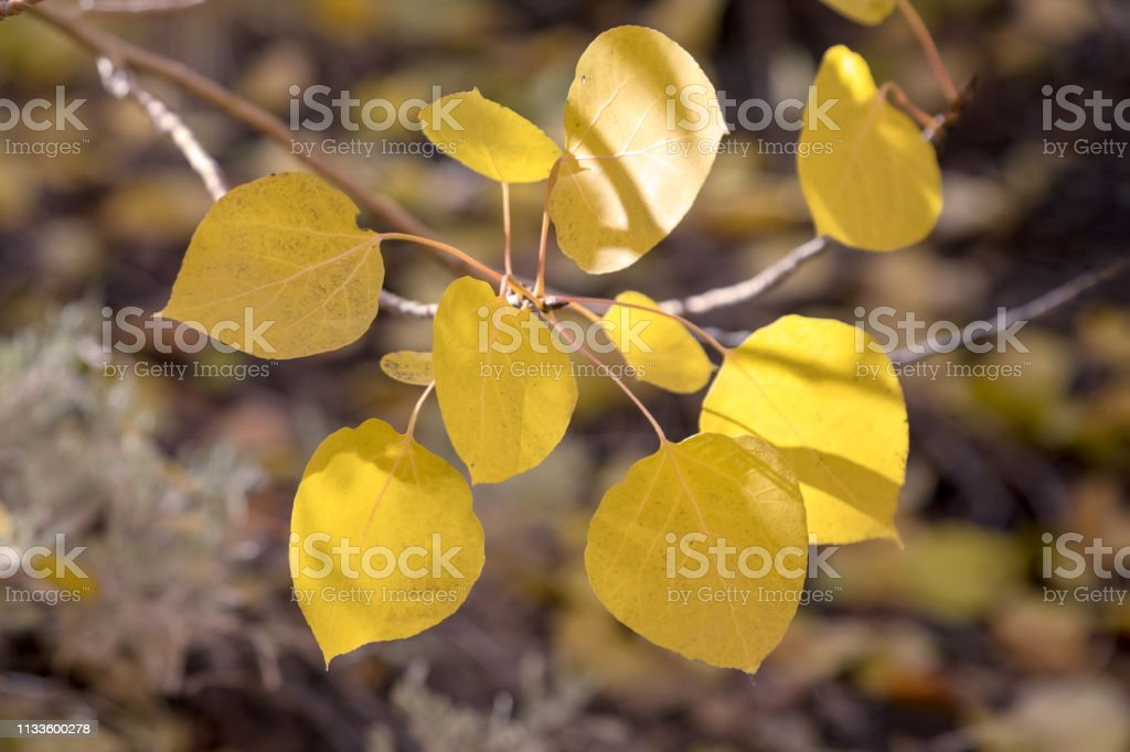 Close up of a group of yellow autumn leaves. The sun shining through the trees stock photo
