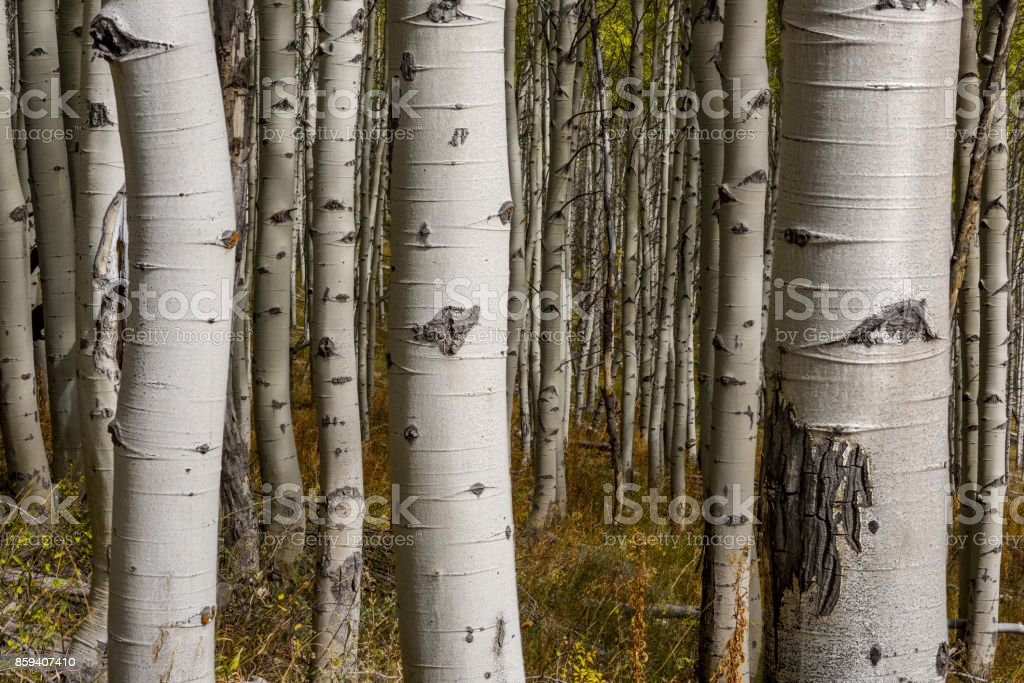 Close up of a grove of Aspen trees in the fall stock photo