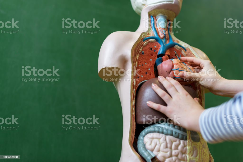 Close Up Of A High School Student Learning Anatomy In Biology Class