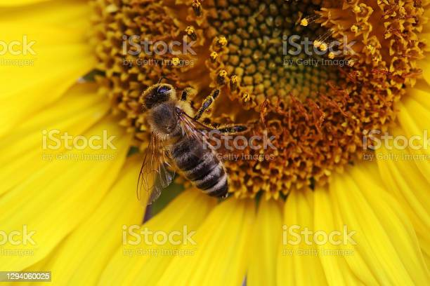 Photo of Close up of a honey bee getting pollen from a sunflower