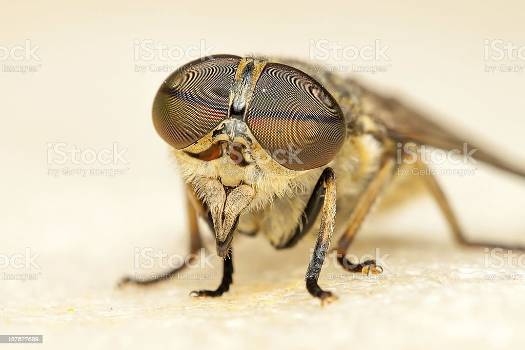 Close up of a horse fly bluebottle stock photo