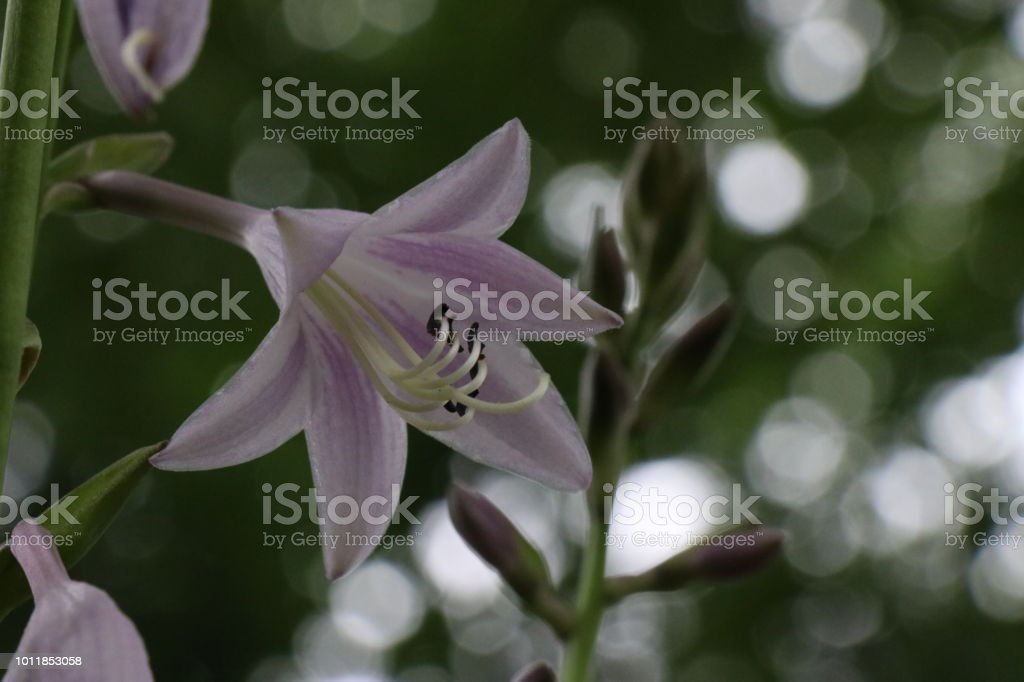 Close up of a Hosta flower with bokeh in the background. stock photo