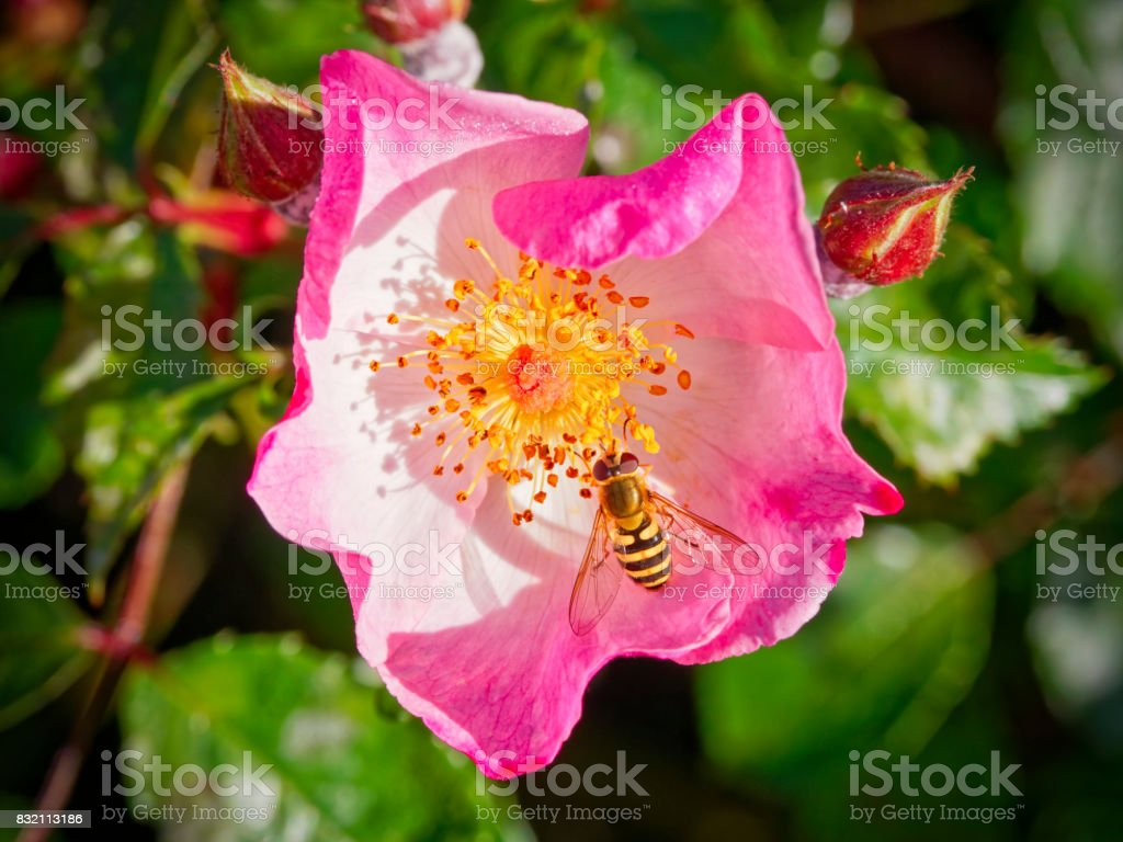 Close up of a Hoverfly and a pink Dog Rose. stock photo