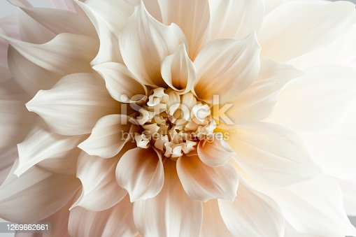 Close up of a huge creme blooming Dahlia flower Cafe au Lait Hybrid.