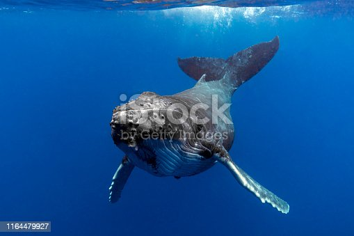 A humpback whale calf in blue water swims towards the viewer