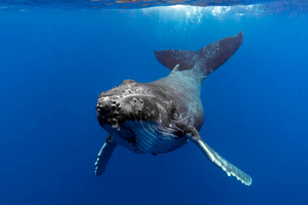 Close up of a Humpback Whale Calf in Blue Water A humpback whale calf in blue water swims towards the viewer whale stock pictures, royalty-free photos & images