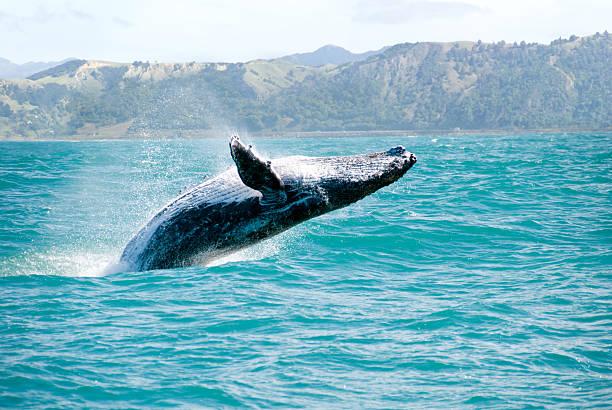 Baleine à bosse Sauter hors de l'eau - Photo