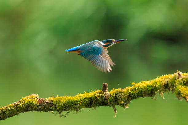Close up of a Kingfisher Alcedo atthis eating fish A closeup of a kingfisher (Alcedo atthis) in flight, landing on a branch during Springtime in early morning sunlight. The background is green, selective focus is used. kingfisher stock pictures, royalty-free photos & images
