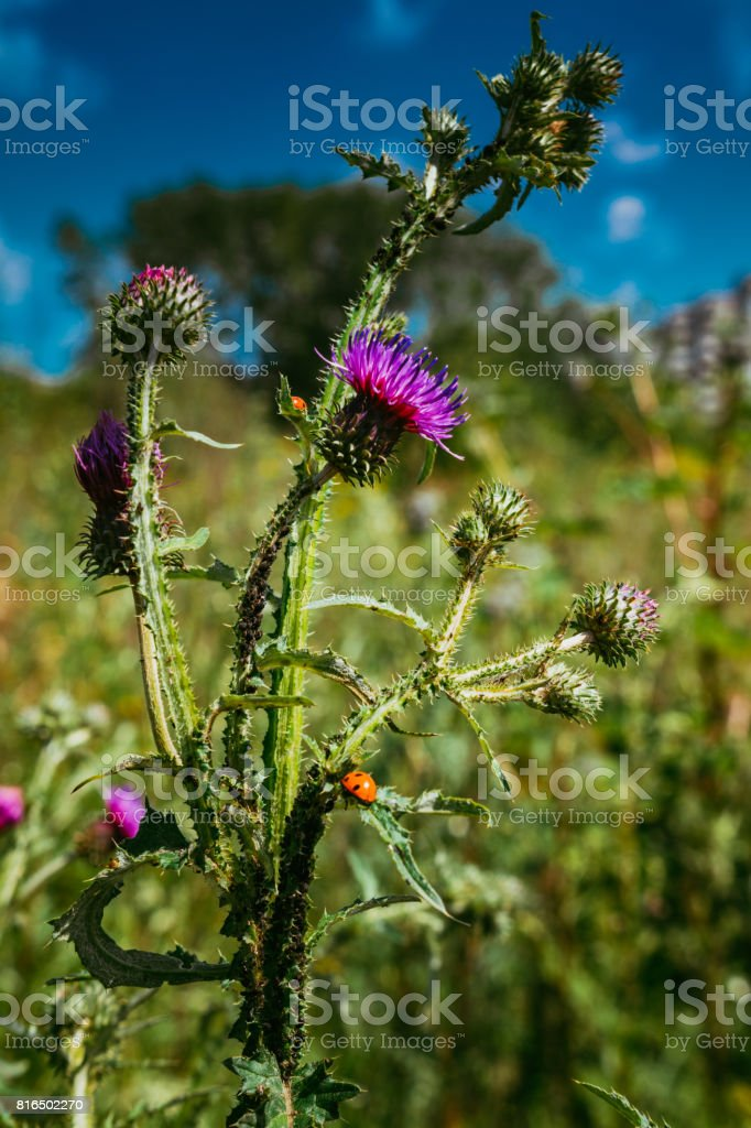 Close up of a ladybird on a thistle flower stock photo