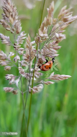 Close up of a ladybird on grass seed heads and flowers